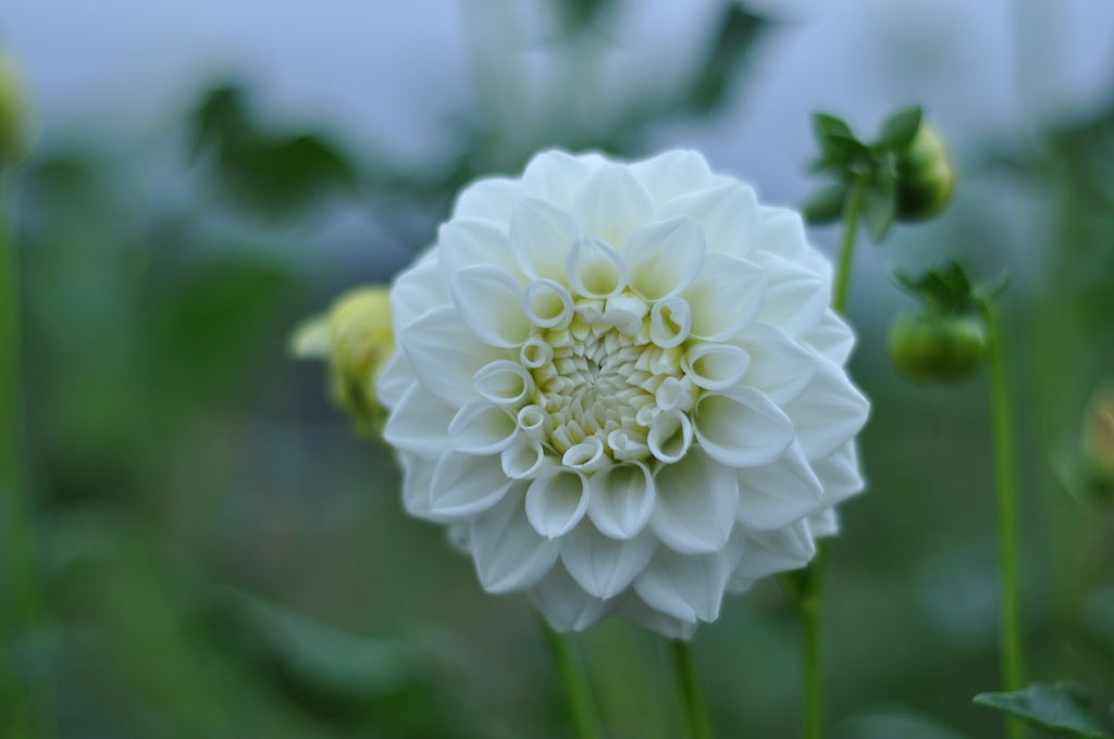 dahlia15whitedream