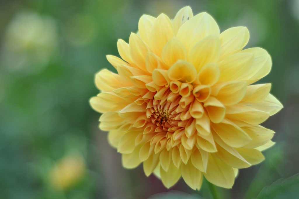 dahlia15yellowstar