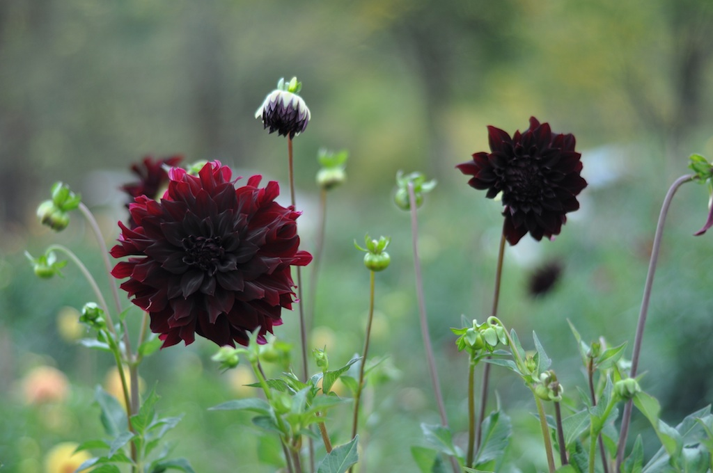 dahlia15blackbeauty